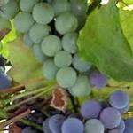 Sagra dell'uva Miradolo